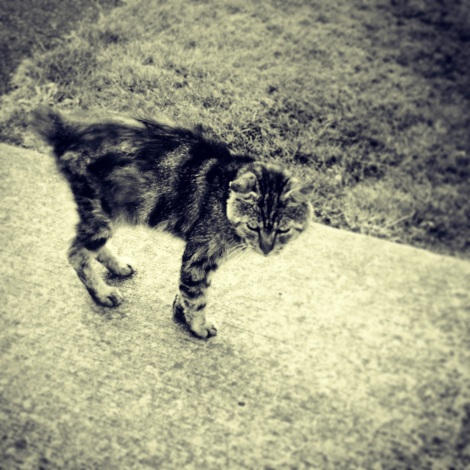 Feral Taby
